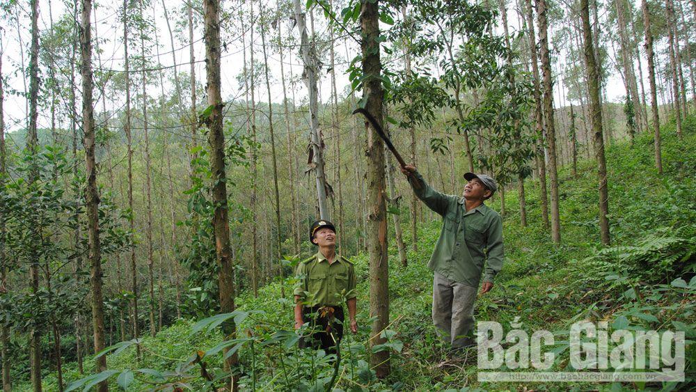 Yên Thế nhân rộng diện tích cây lâm nghiệp giống mới